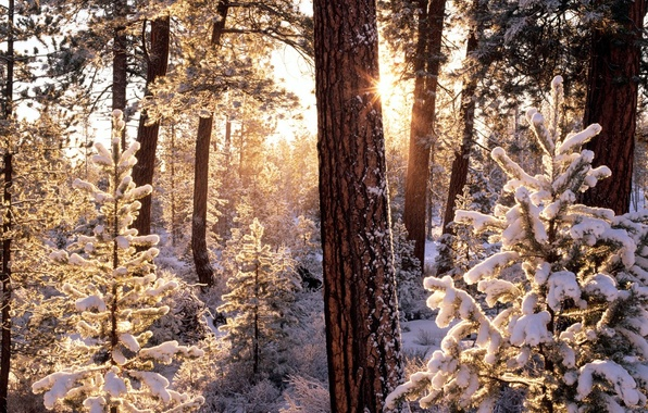 Picture winter, frost, forest, the sun, rays, snow, trees, ate