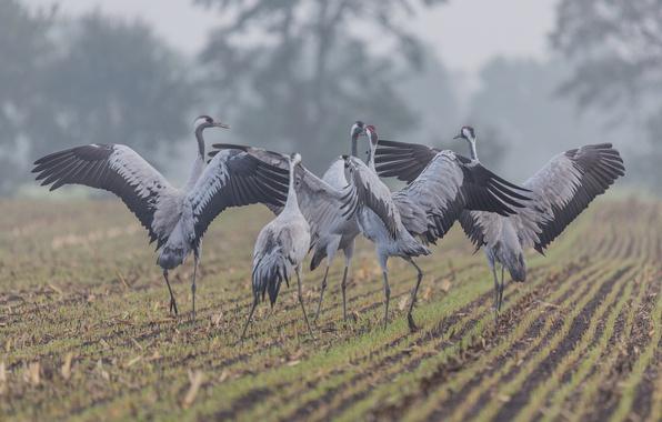 Picture field, birds, fog, countryside, wildlife, mist, winds, farmland, common crane, grus grus