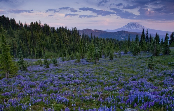 Picture trees, flowers, mountains, glade, Washington, lupins, Cascade Range, Goat Rock Wilderness