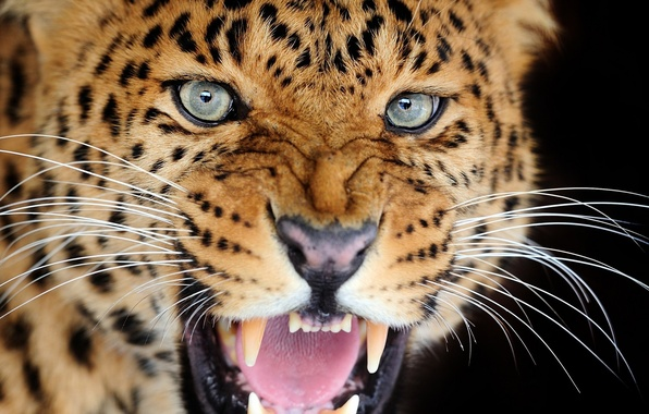Picture cat, look, mouth, leopard, fangs, grin