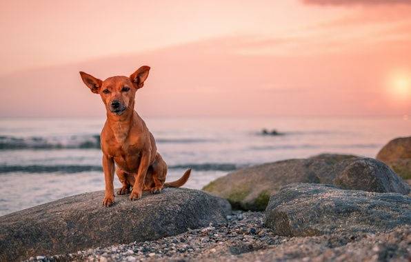 Picture sea, look, sunset, each, dog