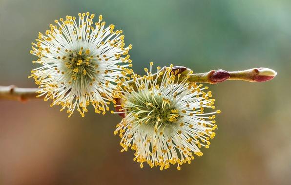 Picture macro, branch, spring, Verba, bokeh