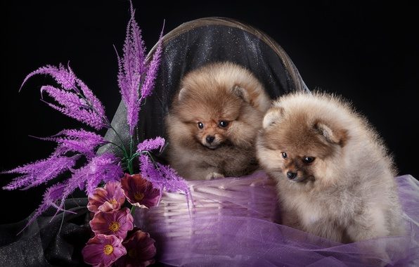 Picture flowers, basket, puppies, Duo, Spitz