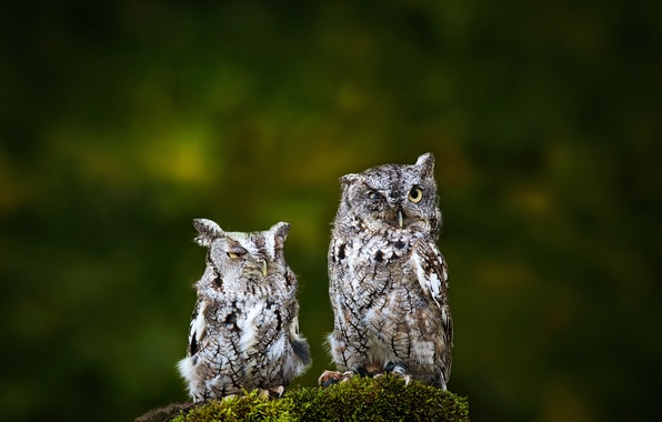 Picture birds, background, two, owls
