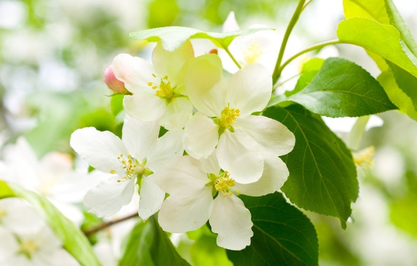 Picture leaves, flowers, cherry, tree, branch, spring, petals, green, white, flowering