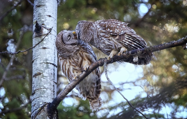 Picture birds, tree, kiss, owls, a couple, A barred owl