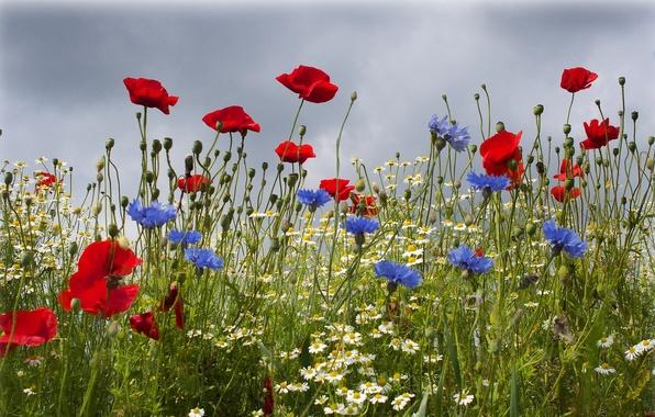 Picture field, summer, flowers, Maki, chamomile, cornflowers