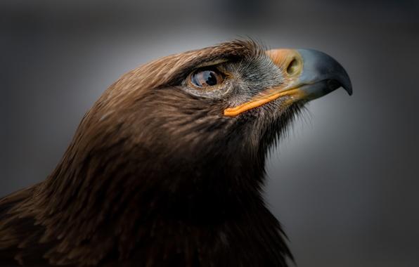 Picture bird, portrait, eagle, eagle