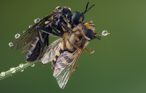 Picture death, killer, robberfly, syrphid prey