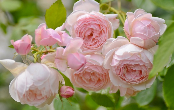 Picture macro, tenderness, roses, buds