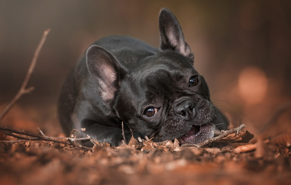Picture sadness, autumn, look, face, sprig, foliage, portrait, dog, lies, French bulldog