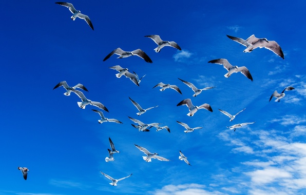 Picture freedom, clouds, flight, birds, blue, seagulls, The sky, wings, space, Dominican Republic, Olyushka.2014