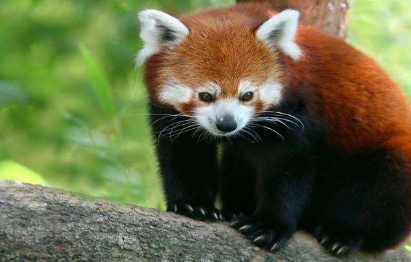 Picture Red, Panda, firefox, red Panda, bamboo bear