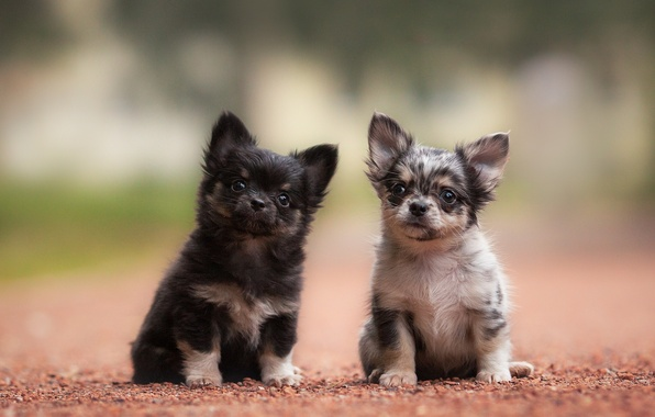 Picture dogs, puppies, kids, a couple, Chihuahua
