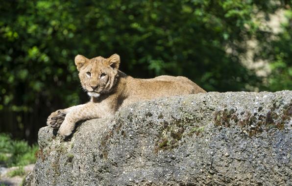 Picture cat, stay, stone, Leo, cub, kitty, lion, ©Tambako The Jaguar