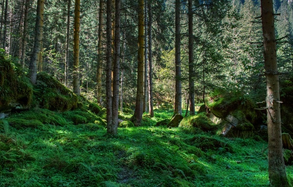 Picture greens, trees, stones, moss, Forest