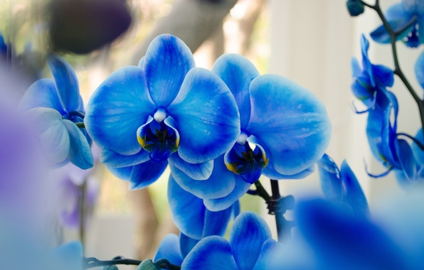 Picture orchids, exotic, blue Phalaenopsis