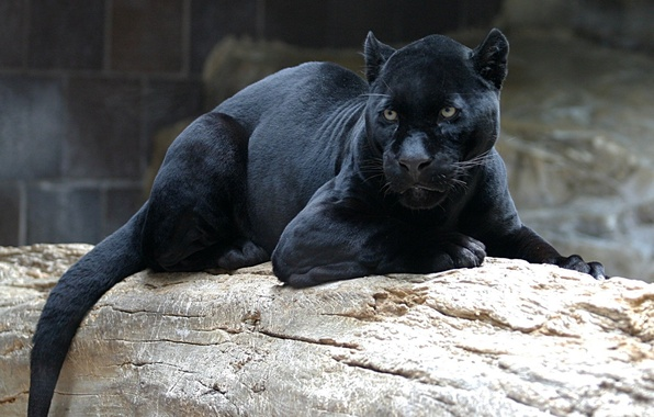 Picture cat, look, face, Panther, black, lies, looks, wild, on the log