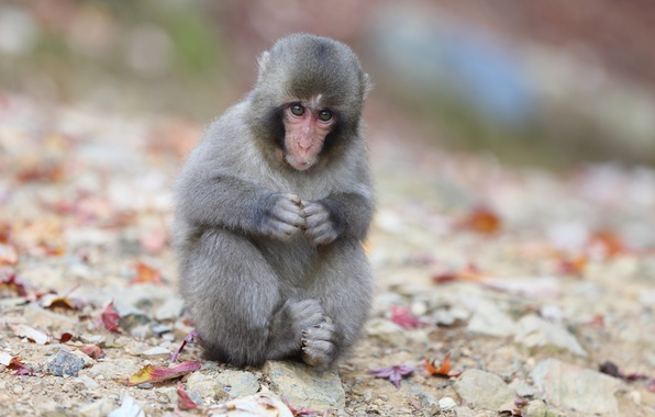 Picture leaves, sitting, Japanese macaques, a snow monkey