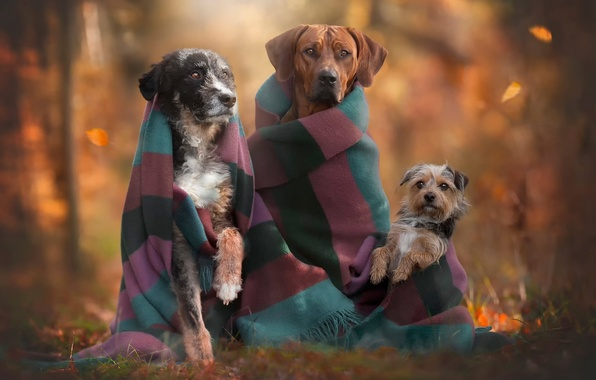 Picture autumn, dogs, trio, friends