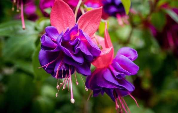Photo wallpaper flowers, macro, fuchsia