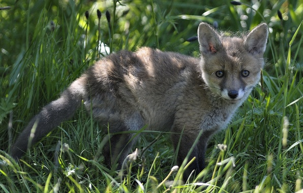 Picture grass, Fox, cub, Fox
