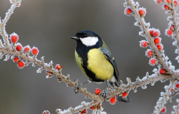 Picture snow, branches, berries, bird