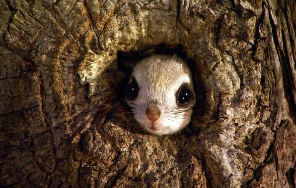 Picture tree, Japan, rodent, the hollow, Japanese flying squirrel, Rishiri-Rebun-Sarobetsu National Park