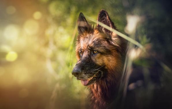 Picture face, dog, bokeh, shepherd, German shepherd