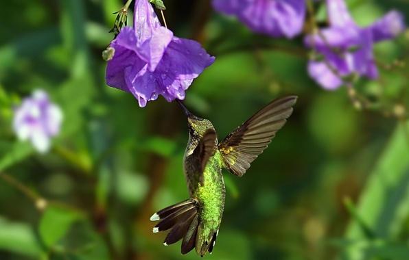 Picture flower, flight, bird, wings, Hummingbird