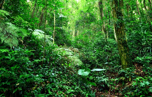 Picture greens, forest, grass, leaves, trees, branches, tropics, jungle, Jungle, the bushes