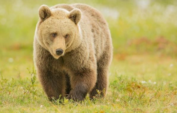 Picture predator, bear, brown