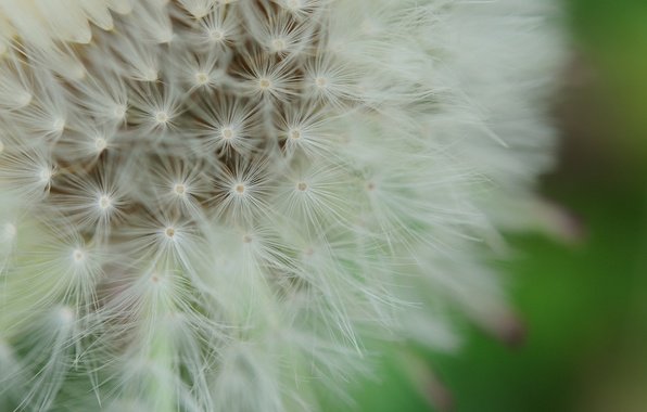 Picture flower, macro, nature, background, dandelion, fluff