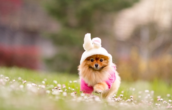 Picture grass, flowers, nature, dog, blur, red, costume, Bunny, Spitz