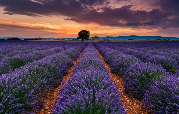 Picture field, summer, the sky, clouds, flowers, tree, France, lavender, Provence, July