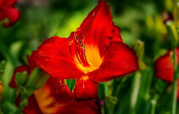 Picture macro, petals, bokeh, Daylilies