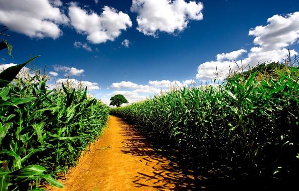 Picture road, field, the sky, landscape, nature, plants, road, pathway, corn fields, corn fields