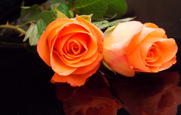 Picture photo, Flowers, Orange, Two, Roses
