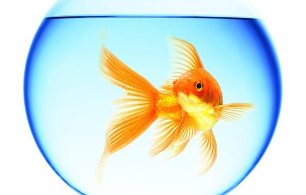 Picture water, reflection, round, aquarium, goldfish, white background, floats