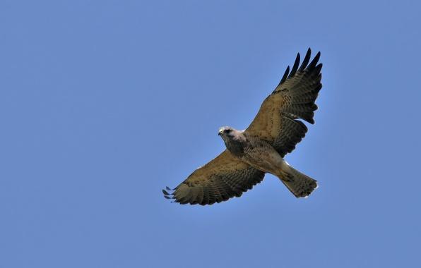 Picture the sky, flight, bird, wings, hawk