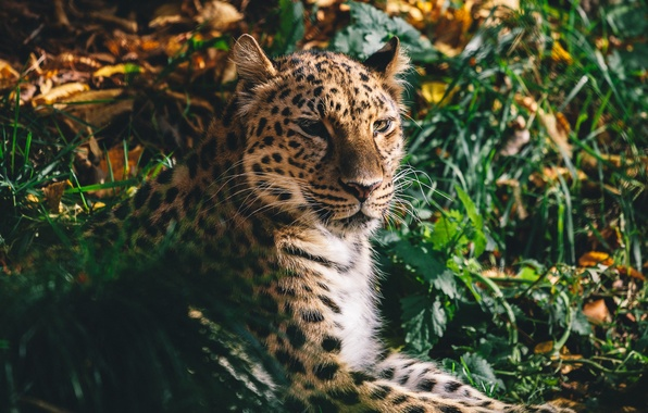Picture face, predator, wild cat, the Amur leopard