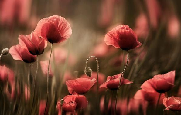 Picture flowers, Mac, Maki, rozmyte