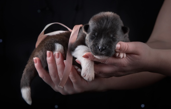 Picture baby, puppy, bow, Akita, baby