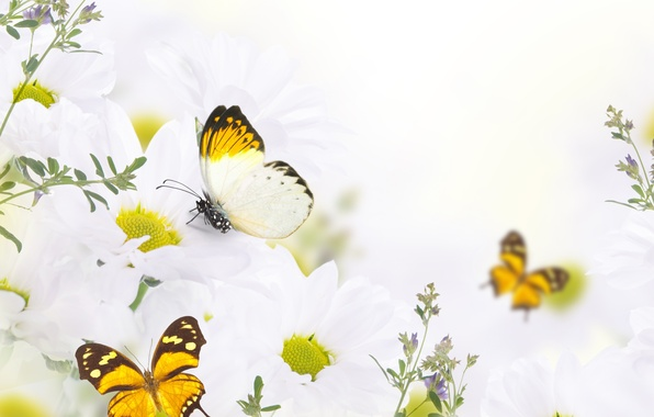 Picture butterfly, flowers, buds, flowers, leaves, leaves, twigs, butterflies, buds, white chrysanthemums, twigs, white chrysanthemums