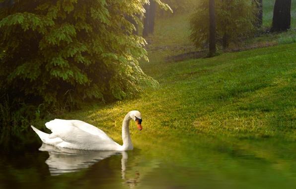Picture background, bird, Swan