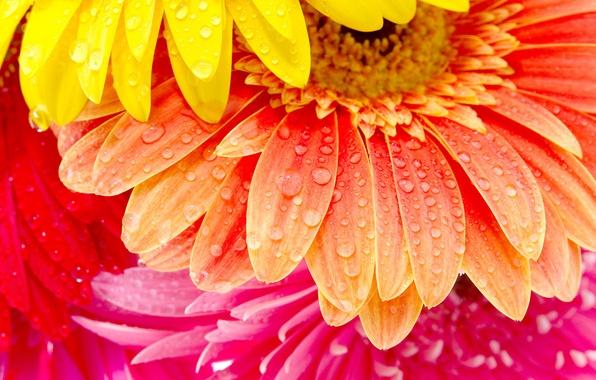 Picture flowers, petals, gerbera, water drops