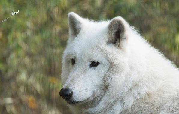 Picture face, wolf, portrait, Wolf Hudson