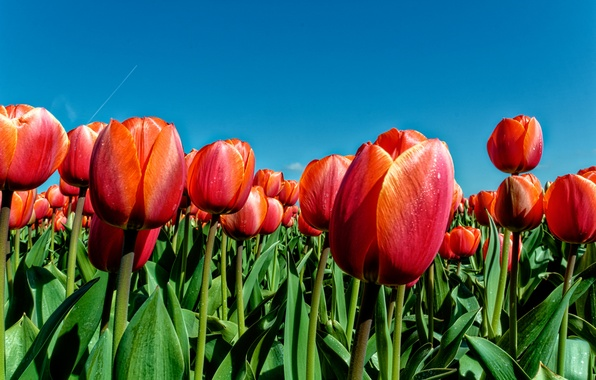 Picture the sky, leaves, nature, spring, petals, meadow, tulips