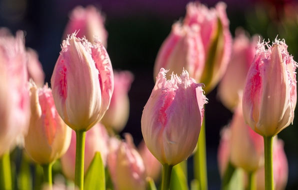 Picture macro, flowers, spring, Tulips, pink, buds, bokeh, Terry