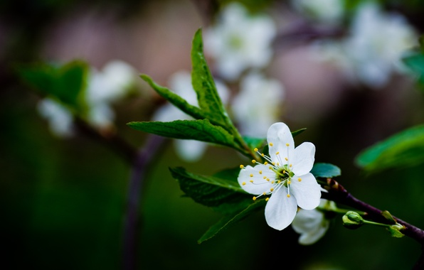 Picture greens, white, flower, leaves, macro, cherry, color, branch, spring, blur, green, flowering